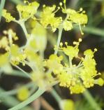 Floare de fenicul (2)